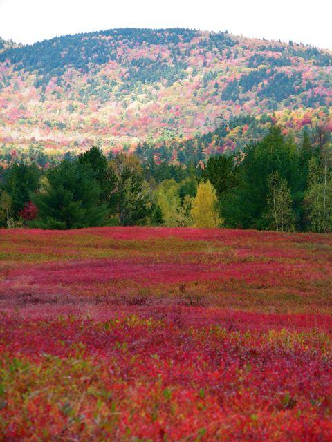 Blueberry barrens, Deblois, Maine, in October.