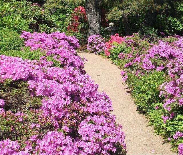 61aad4b67d7a Maine s azalea and lilac gardens blossom with spring s tidings ...