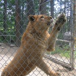 Tours of the D.E.W. Animal Kingdom, in the Belgrade Lakes area of Maine, provide an upclose view of exotic animals. Hilary Nangle photo.