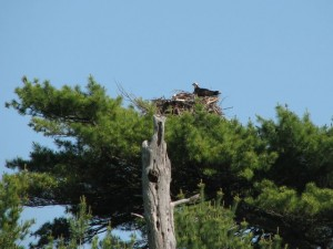 Osprey Watch takes place at Wolfe's Neck Woods State Park in Freeport. Hilary Nangle photo
