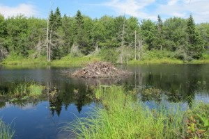 We  had the Corea Heath Trail and the view over a beaver dam all to ourselves. Hilary Nangle photo