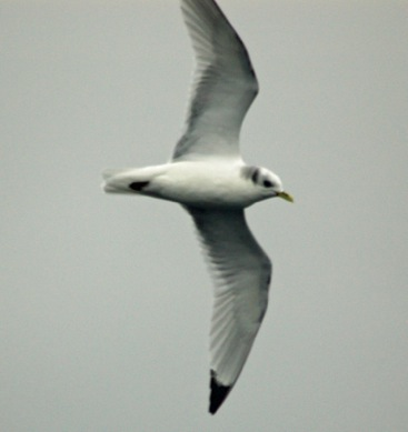 Black-legged kittiwakes have been spied on previous January bird counts. Michael Good photo.