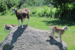 Goats playing king of the hill. Hilary Nangle photo  IMG_3743
