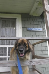 Bernie on the porch of the dog-friendly Dog Wood cottage at Sebsasco Harbor Resort, Maine. Hilary Nangle photo