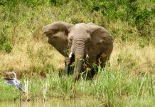 One of many elephants seen while on safari at Kenya's Angama Mara. ©Hilary Nangle