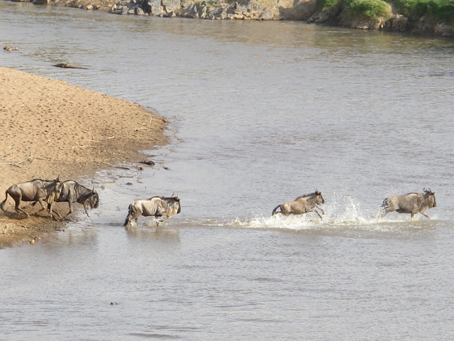 During the Great Migration, wildebeests and zebra must cross the crocodile-filled waters of the Mara River. Hilary Nangle